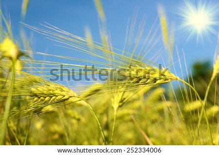 Scenic landscape with ears of barley against the sky in the sunlight in gold tones (harvest, abundance, prosperity, wealth - concept) - stock photo