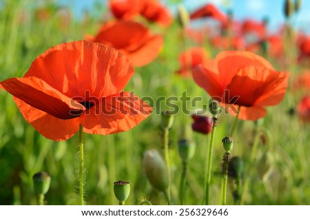 Scenic landscape with flowers poppies against the sky (rest, relaxation, meditation, stress relief - concept) - stock photo