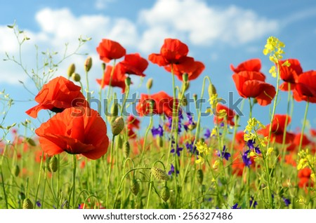 Scenic landscape with flowers poppies against the sky with clouds (rest, relaxation, meditation, stress relief - concept) - stock photo