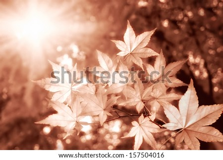 Scenic maple trees in autumn with the sun shining brightly through them, in warm monochrome - stock photo