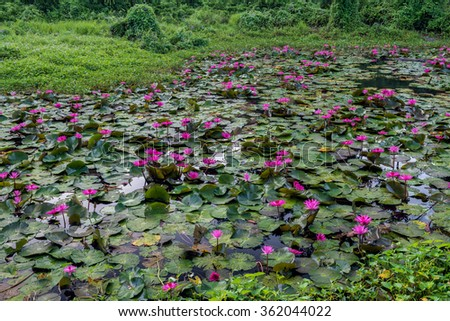 Scenic of pink lotus in swamps - stock photo