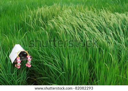 scenic paddy field,wind blow on paddy. - stock photo