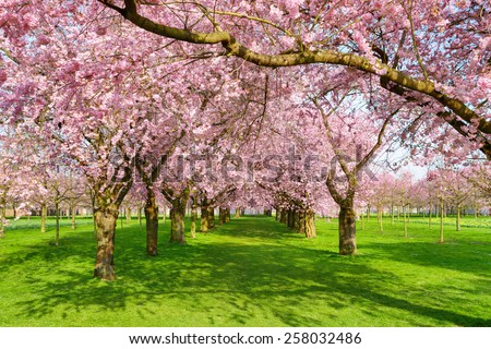 Scenic park with rows of blossoming cherry trees in spring on a fresh green lawn, shot on a nice sunny day - stock photo