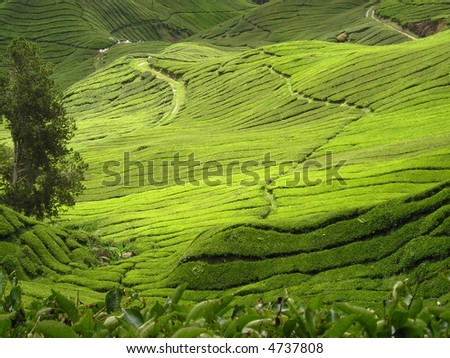 Scenic tea plantation - stock photo