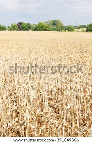 Scenic View of a Wheat Field in Summer - stock photo