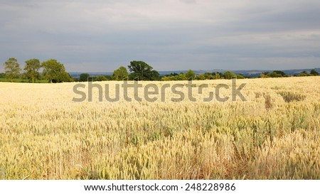 Scenic View of Agricultural Crops Growing in a Field against a Cloudy Sky - stock photo
