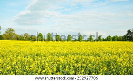 Scenic View of Crop Flowers Growing on Farmland in Rural England - stock photo