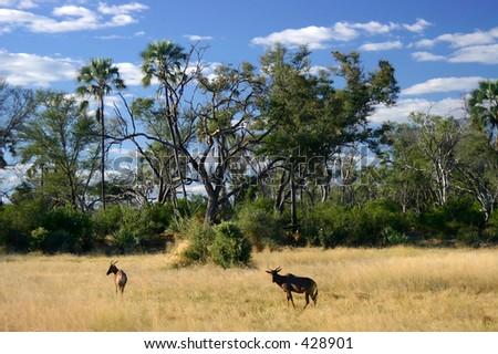 Scenic View of impala and Tseteebee in open savannah, Botswana, Africa - stock photo