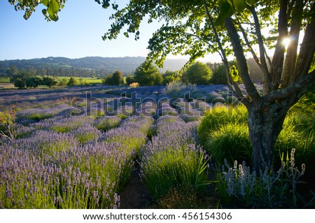 Scenic view of lavender garden sun about to set - stock photo