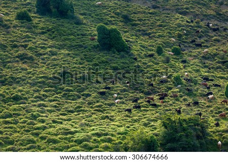 Scenic view with herd of goats free ranging at green field - stock photo
