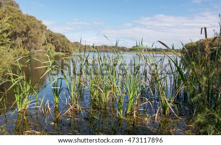 Scenic wetland landscape with lush green reeds and trees under a blue sky at Herdsman Lake in Western Australia/Wetland Reeds/Herdsman Lake, Western Australia