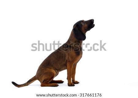 Scenthound dog,  on a white background  - stock photo