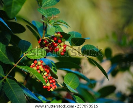 Schinus terebinthifolius, Florida Holly, Brazilian-pepper, Christmasberry tree. This image shows bright red berries contrasting with the deep green foliage. The plant is in dappled sunlight. - stock photo