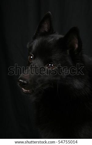 Schipperke on black background - stock photo