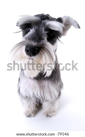 Schnauzer - stock photo