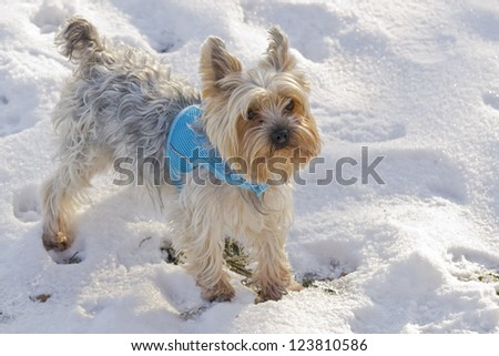 Schnauzer dog  plays in snow - stock photo
