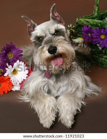 Schnauzer portrait - stock photo