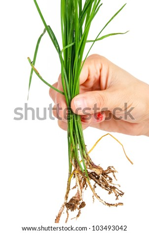 Schnittlauch - stock photo