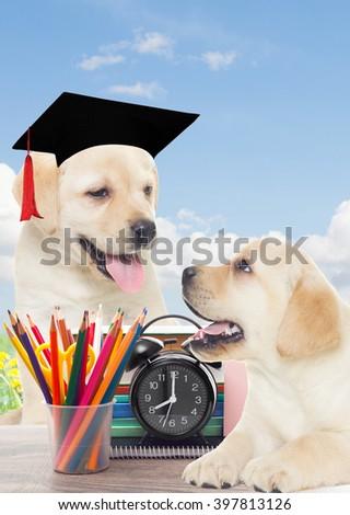 school  and funny labrador puppy - stock photo
