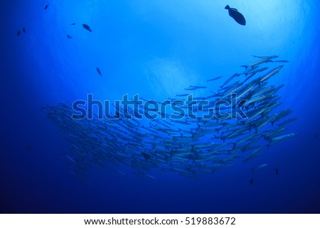 School barracuda fish