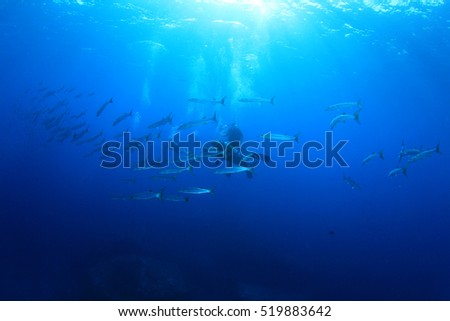 School barracuda fish and scuba divers