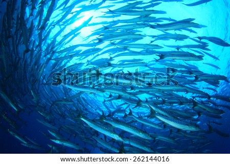 School Chevron Barracuda fish - stock photo