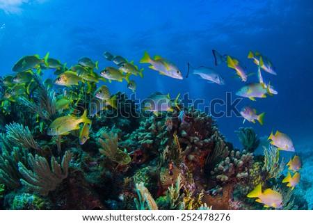School masters schooling over the reef - stock photo