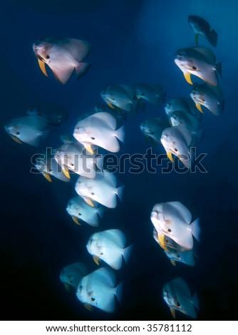 school of batfish - stock photo