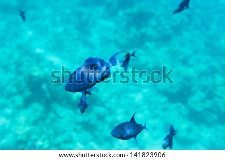 School of blue fish float above the bottom of the ocean of white sand
