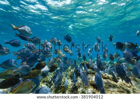 School of blue tang fish, acanthurus coeruleus, swimming on the coral reef - stock photo