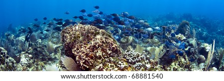 School of blue tangs swimming over coral reef - stock photo