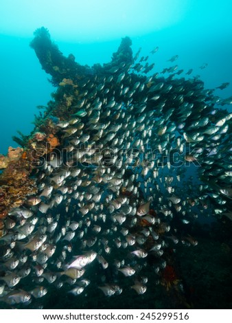 school of bull's eyes fish at the dredge wreck, South Australia - stock photo
