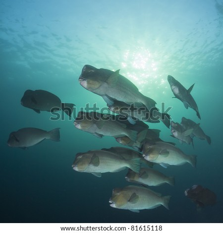 School of Bumphead Parrotfish in the early morning sunlight at the Liberty Wreck at Tulamben, Bali - stock photo