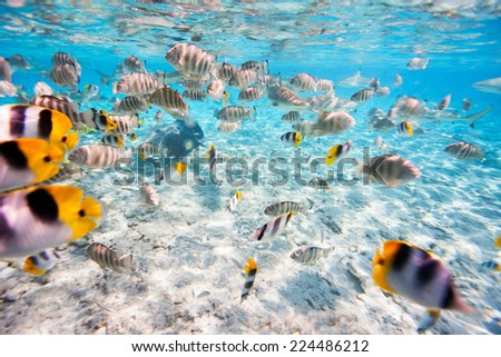 School of butterfly fish in Pacific ocean - stock photo