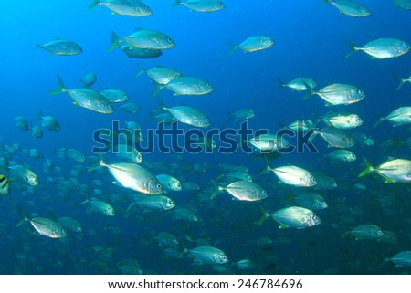School of fish in ocean: Bigeye Trevallies - stock photo
