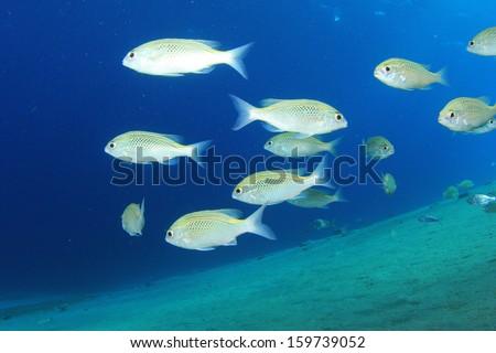 School of fish underwater - stock photo
