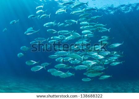 School Of Fish underwater of the red sea. Indian mackerel. / Fish school - stock photo