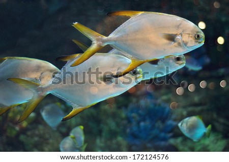 school of fish with silver body and yellow flippers similar to platax or Pomfret in saltwater aquarium - stock photo