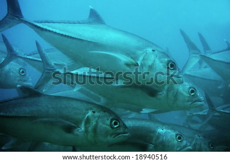 School of giant Dogtooth Tuna in the Indian Ocean - stock photo