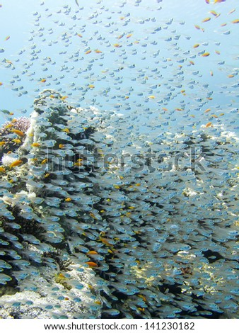 school of glass- fish in front of a red sea coral reef - stock photo