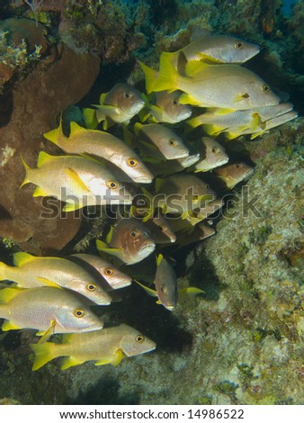 School of Grunts under a Ledge in the Cayman Islands - stock photo