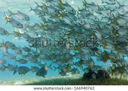 School of horse eye jack fish swim on Hol Chan coral reef - stock photo