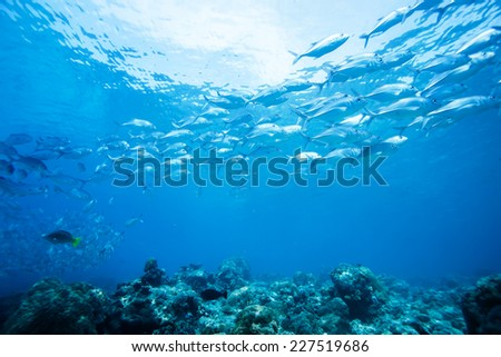 school of jack fish in Dimakya island, Palawan, Philippines. - stock photo
