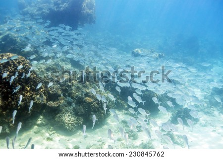 School of jack fish in Dimakya island, Palawan, Philippines. - stock photo