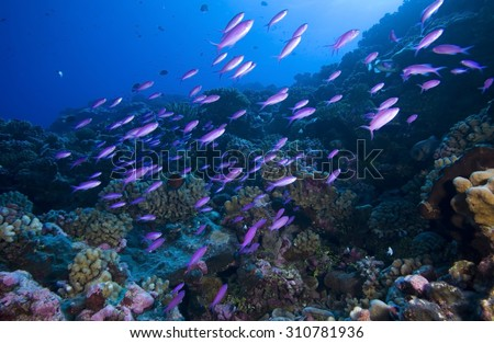 SCHOOL OF PURPLE ANTHIAS SWIMMING FRONT OF CORAL REEF