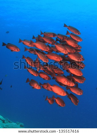 School of red fish: Common Bigeyes in blue water - stock photo