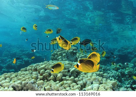 School of Red Sea Raccoon Butterflyfish on a coral reef in the Red Sea, Egypt