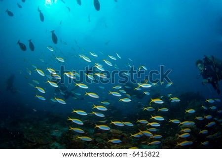School of reef fish with diver