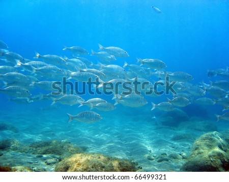 School of Sand steenbras fish, Lithognathus mormyrus, with sandy seabed, Costa Brava, Catalonia, Spain - stock photo
