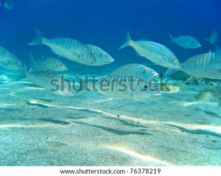 School of Sand steenbras fish over sandy seafloor, Mediterranean sea, Azure coast, French riviera, France - stock photo